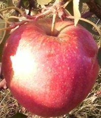 яблоня чемпион фото
