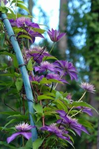 Clematis-Gruppe