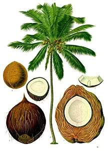 семена кокоса