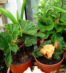 Однорічні рослини