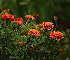 растения однолетние