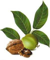 применение орехов грецких