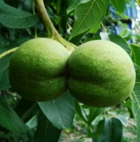 Грецкий орех нет плодов