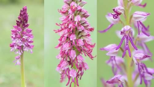 Гибриды и поток генов у орхидей