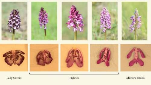 орхидея перемещение ген