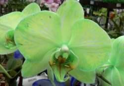 Фаленопсис окрашен в зеленый цвет