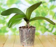Як пересадити орхідею
