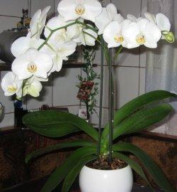 Фаленопсис цветок орхидея