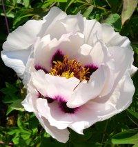цветы пионы древовидные