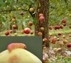 вредитель плодожёрка