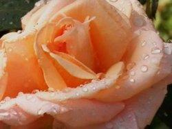 роза оранжевая жёлтая