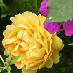 роза жёлтая