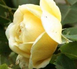 розы жёлтые