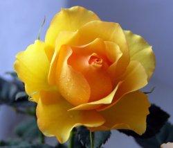 фото комнатные розы