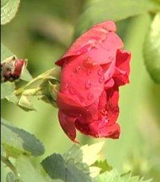 Роза сорта ругоз
