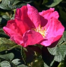 Роза ругоза сорта