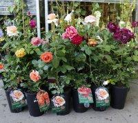 купити саджанці троянди