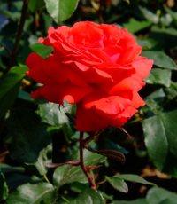 Розы Тантау