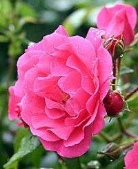 Розы немецкие