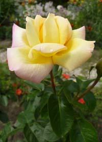 глория дей роза