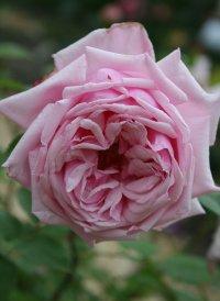 Роза Ля франс(La France)