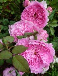 Розы Гийо.