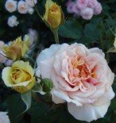 Роза Versigny.