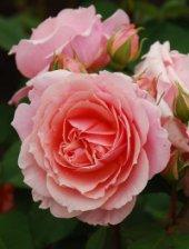Роза Поль Бокюз.