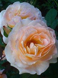 Rose Fiona Gelin