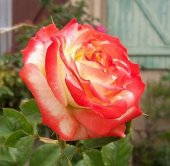 Розы императрица фарах.