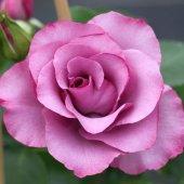 Розы Диорессенс.