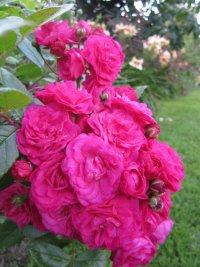 Moschus Rose
