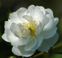 Роза Гирлянд д'Амур
