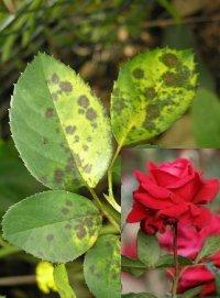 Розы чёрная пятнистость