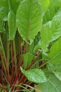 щавель шпинат