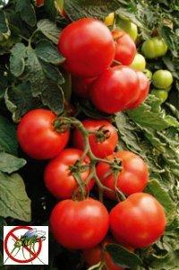 Защита томатов