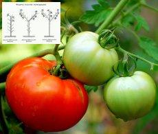 томаты формирование куста