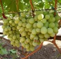 Сорта Крайнова виноград