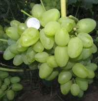 Сорта Загорулько виноград