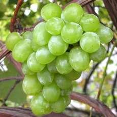 виноград сорта и фото