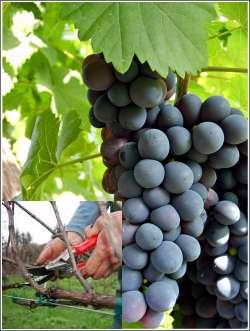 виноград обрезка для начинающих