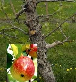 рак на яблоне фото