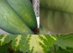 лечение от хлороза листья