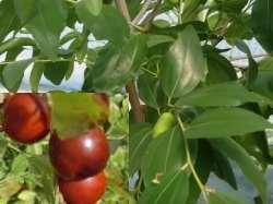 зизифус выращивание